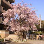 ルールマラン枝垂桜